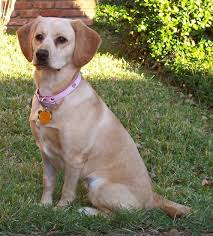 a tan er spaniel retriever mix breed dog sitting in the gr with a