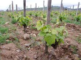 """Résultat de recherche d'images pour """"georges descombes vignes"""""""
