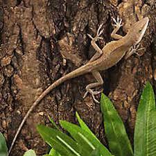 petsmart reptiles for sale. Delighful Petsmart Bahaman Anole Throughout Petsmart Reptiles For Sale O