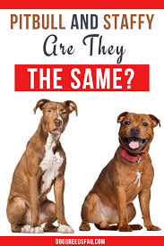 Are Pit Bulls And Staffies The Same Dog Breeds Faq