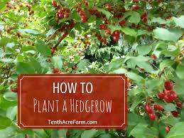 The Hedgerow Harvest With Sloe And Hawthorn Berries UK Stock Photo Fruit Tree Hedgerow