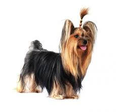 yorkshire terrier haircuts. Interesting Yorkshire Inside Yorkshire Terrier Haircuts