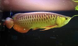 Asian Arowana Freshwater Fish Fanatics
