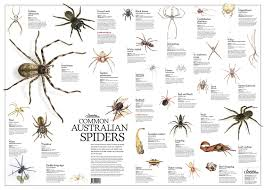 Spider Identification Chart Australia Common Australian Spiders Poster Flat