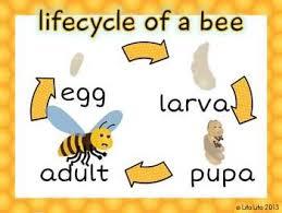 Bee Life Cycle Freebie Life Cycles Bee Life Cycle Bee