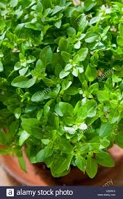 Herb Kitchen Garden Greek Basil Ocimum Basilicum Var Minimum Spring Herb Culinary