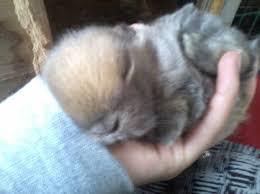 Breeding Holland Lops Hollys Hollands Rabbitry