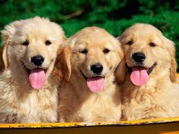 cute golden retriever puppies kissing.  Golden Cute Golden Retriever Puppies Kissing Wallpaper Intended