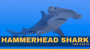 hammerhead shark facts for kids. Interesting Hammerhead Hammerhead Shark Facts For Kids  Shark Diet Habitat Attack U0026  Living For Facts Kids