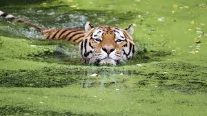 essay on tigers essay tigers national animal of royal bengal tiger  tiger swimming adapt jpg