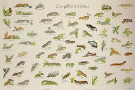 Moth Identification Chart Caterpillars Of Moths 2