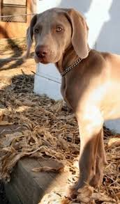 the left side of a weimaraner puppy that is looking forward it is standing next
