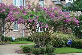 Image result for THE CREPE MYRTLE TREE