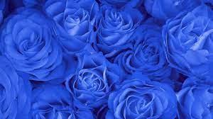 Blue Rose Flower Wallpaper Hd Full ...