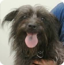 black cairn terrier mix. Modren Cairn And Black Cairn Terrier Mix T