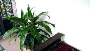large indoor cactus tall indoor plants tall house plants you can grow indoors large indoor cactus