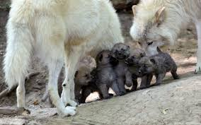 wolf puppies wallpaper.  Wallpaper Wolf Puppies Wallpaper And
