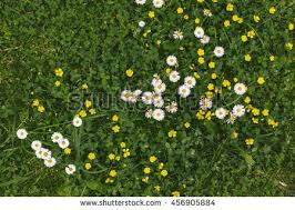 grass and flowers background. Simple Flowers Grass And Flowers Background Photography Of Meadow Top View White  Yellow Flowers To And Flowers Background C