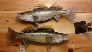 walleye fish replicas