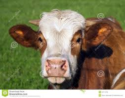 brown cow face. Brilliant Face Brown And White Cow Portrait To Cow Face T