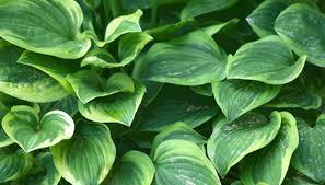 hosta garden ideas