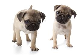 pug puppies. Fine Puppies Manu0027s Wildest Dreams Come True As Heu0027s Covered With A Pile Of Pug Puppies Inside S