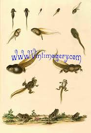 Frog Growth Chart No 2 From 1858 Digital Image File