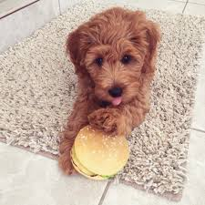 if you are not yet on our deposit list our next availability will likely be in litters going home this fall for f1 mini goldendoodles and late 2019 or