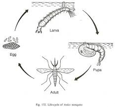 dengue it s biology mode of infection prevention and control clip image002