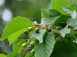 🍐 Flower To Fruit ᴴᴰ  Pear Tree Development 2013  YouTubeWhen Do Cherry Trees Bear Fruit