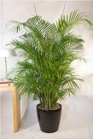 tall office plants. Best Indoor Air Cleaner Tall Office Plants