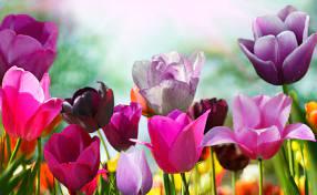 tulips flowers wallpapers hd desktop