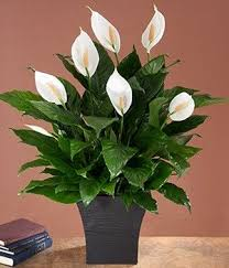 office plants for sale. indoorhouseplants buy plants online indoor delivered nationwide office for sale