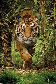 Tygr Bamboo Plakát Obraz Na Zeď Posterscz