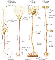 Types Of Neurons Structure Functions Biology Boom