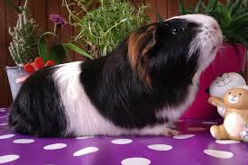 what do guinea pigs like to play with best guinea pig toys