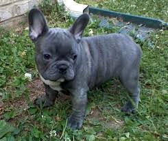 cute blue french bulldog puppies. Cute Blue French Bulldog Puppies Intended