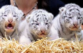 baby white tigers for sale. Plain Sale Baby White Tigers For Sale As Pets Download To S