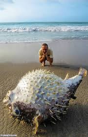man finds a giant puffer fish at the beach