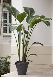 Depiction of Tall House Plants for Indoor: The Most Recommended Ones