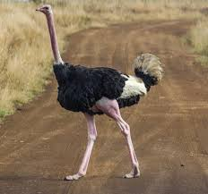 featherless ostrich. Unique Ostrich These Giant Birds Should Remove Any Doubt About What Happened To The  Dinosaurs Intended Featherless Ostrich M