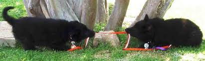 black groenendael belgian shepherd puppy sitting up alert 2 black belgian shepherd puppies playing tug of war