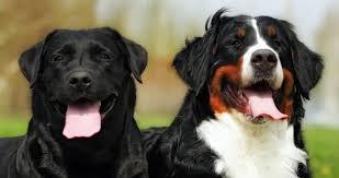 bernese mountain dog mix. Plain Mix Labernese  Bernese Mountain Dog Lab Mix In Bernese Mountain Dog Mix The Happy Puppy Site