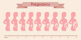 Pregnancy Stomach Size Chart Belly Size During Pregnancy Chart Pregnancy Baby Size Chart