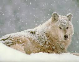 Image result for pictures of arctic wolf covered in snow