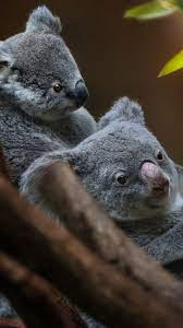 Wallpaper Koala family, cub, cute ...