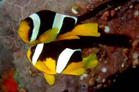 black and yellow clown fish. Plain Black Throughout Black And Yellow Clown Fish I