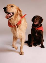 chocolate golden retriever. Plain Chocolate Two Dogs Chocolate Lab U0026 Golden Retriever Stock Photo Picture And Royalty  Free Image Image 3200622 With A