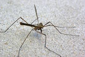 """Résultat de recherche d'images pour """"moustique dangereux"""""""