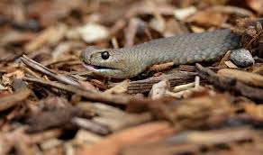 Top Invasive Snake Species Hitchhiked On Planes From